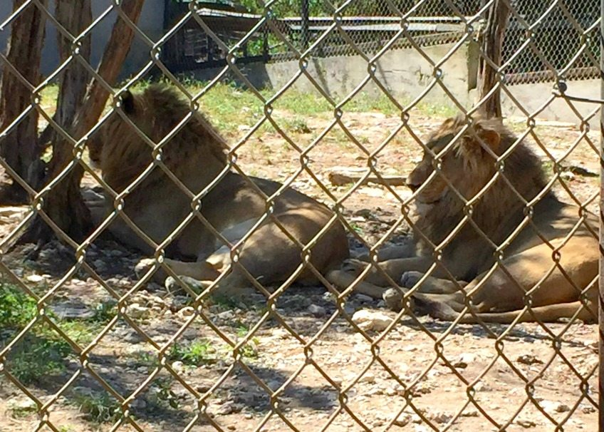 Lions at the Austin zoo