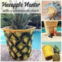 How to make a pineapple planter with a pineapple plant.