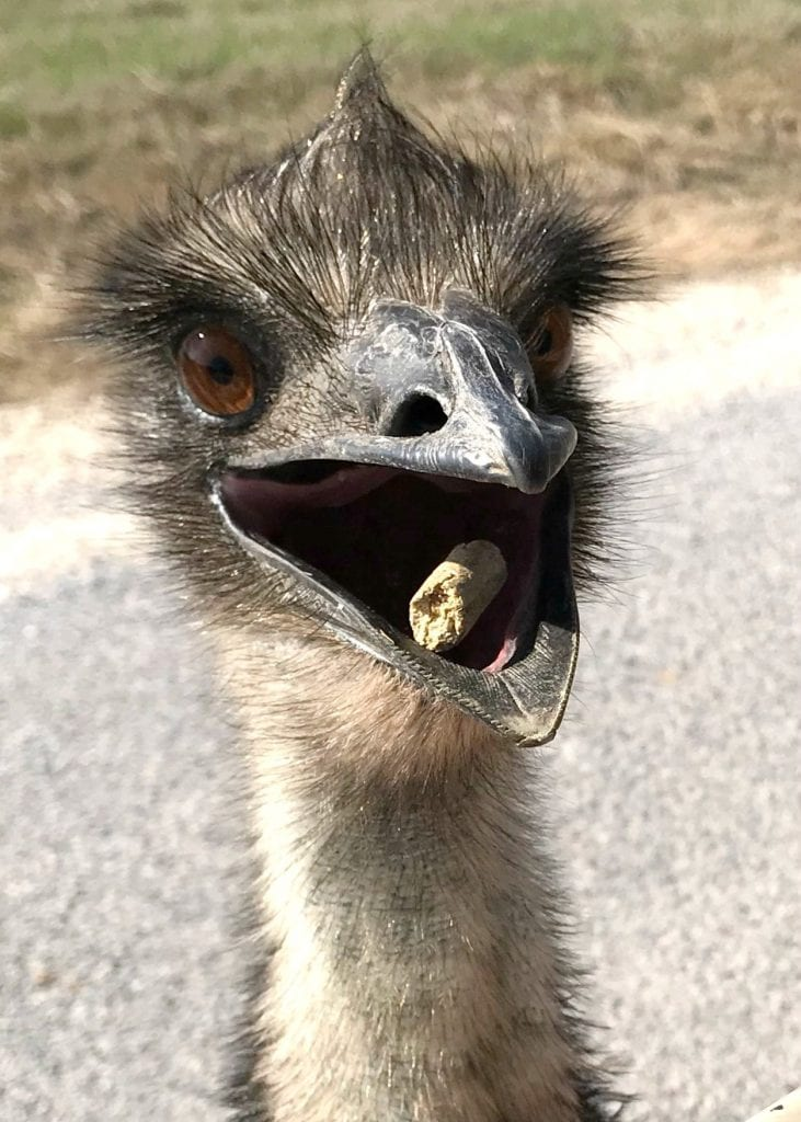 Hungry emus to feed at Fossil Rim Wildlife Center