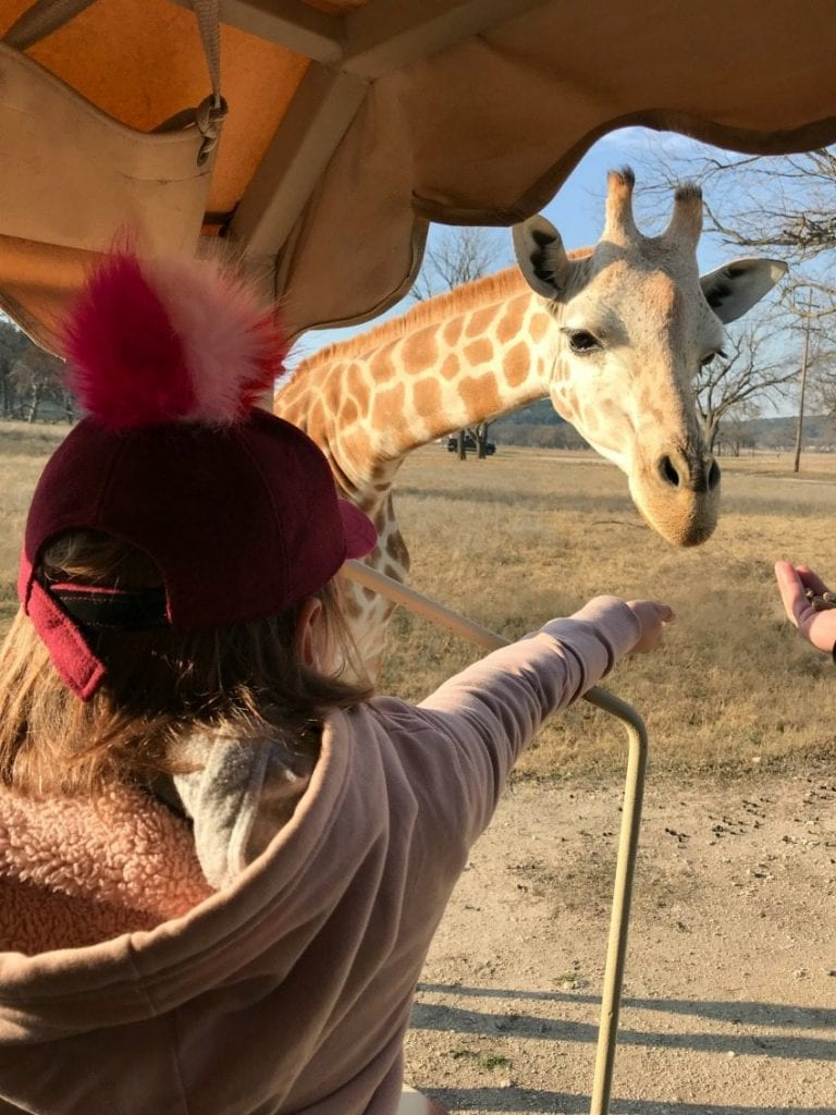 Feeding giraffes at Fossil Rim Wildlife Center